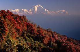 Rhododendron forest in Annapurna region, with Dhaulagiri