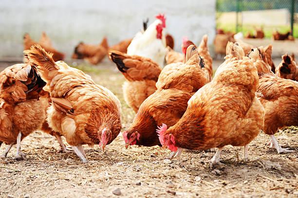 Bird flu detected in Kathmandu