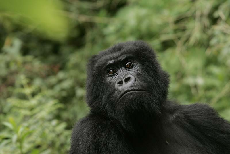 Eastern gorilla gets added to critically endangered list
