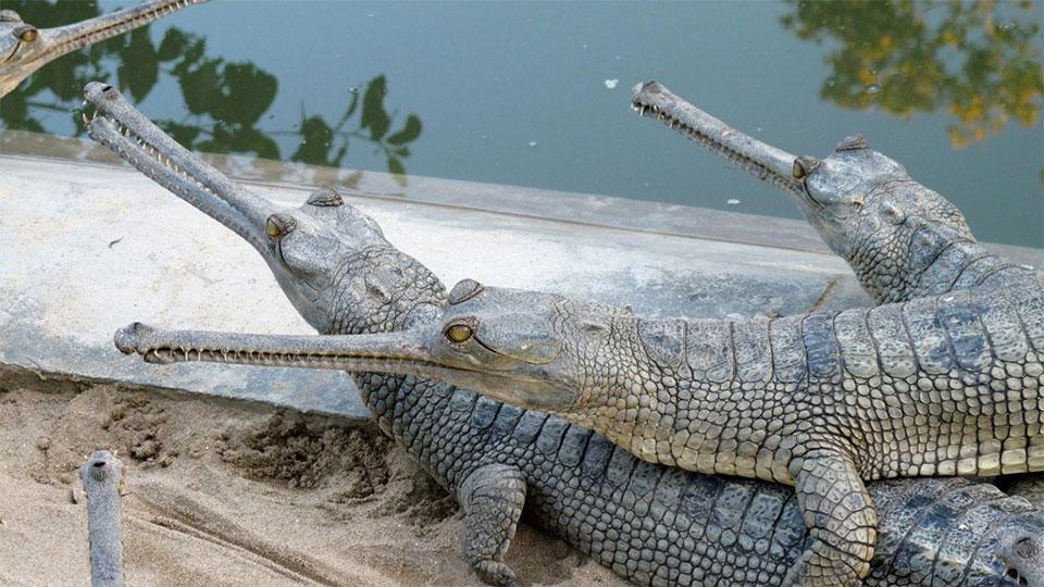 Gharial starts breeding at Crocodile Breeding Centre