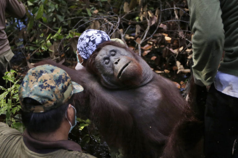 FILE – Conservationists from Borneo Orangutan Survival Foundation carry a tranquilised orangutan as they conduct a rescue and release operation for orangutans trapped in a swath of jungle in Sungai Mangkutub, Central Kalimantan, Indonesia, on January 5, 2016. Photo: AP