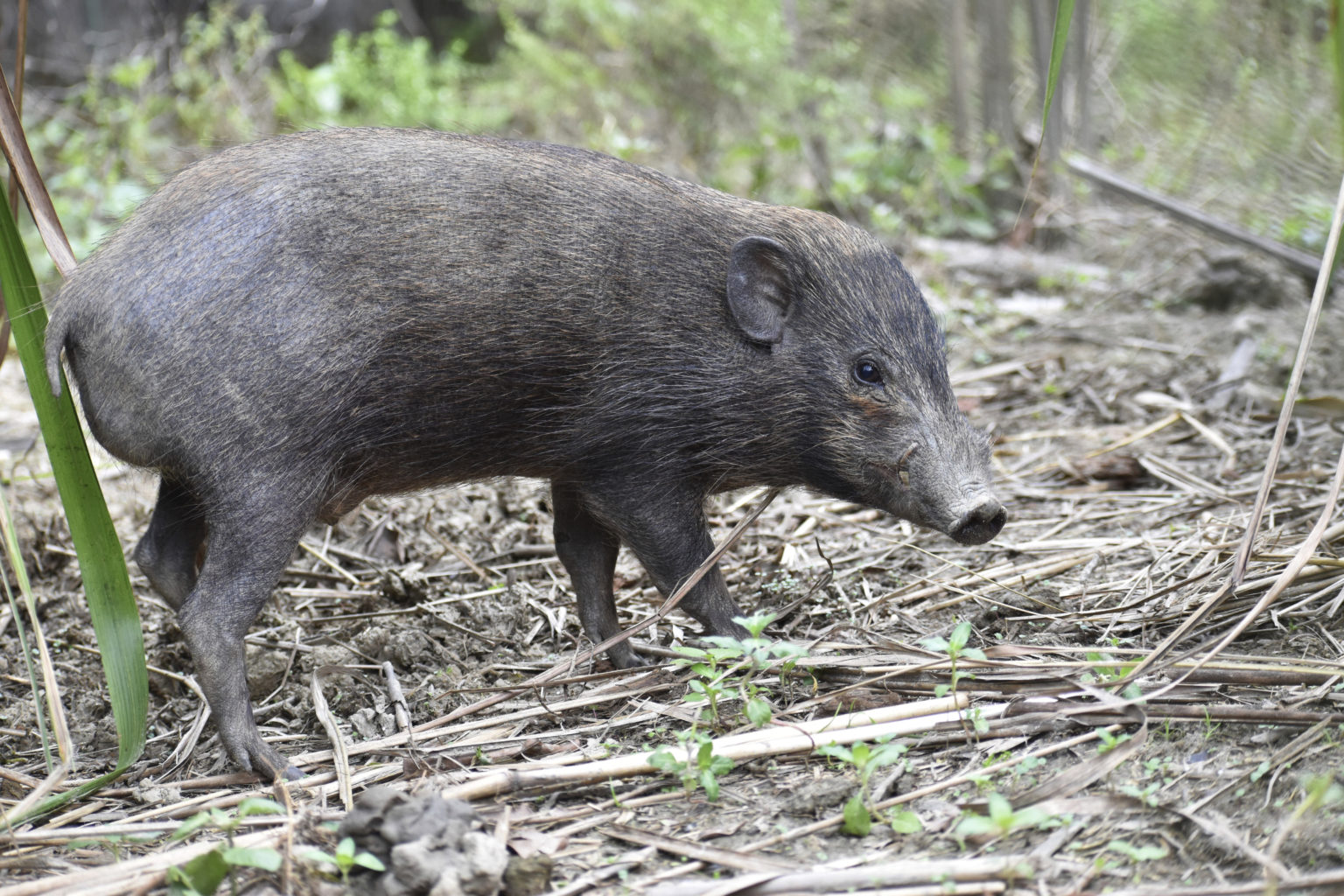 Virus lockdown for world's smallest and rarest wild pigs