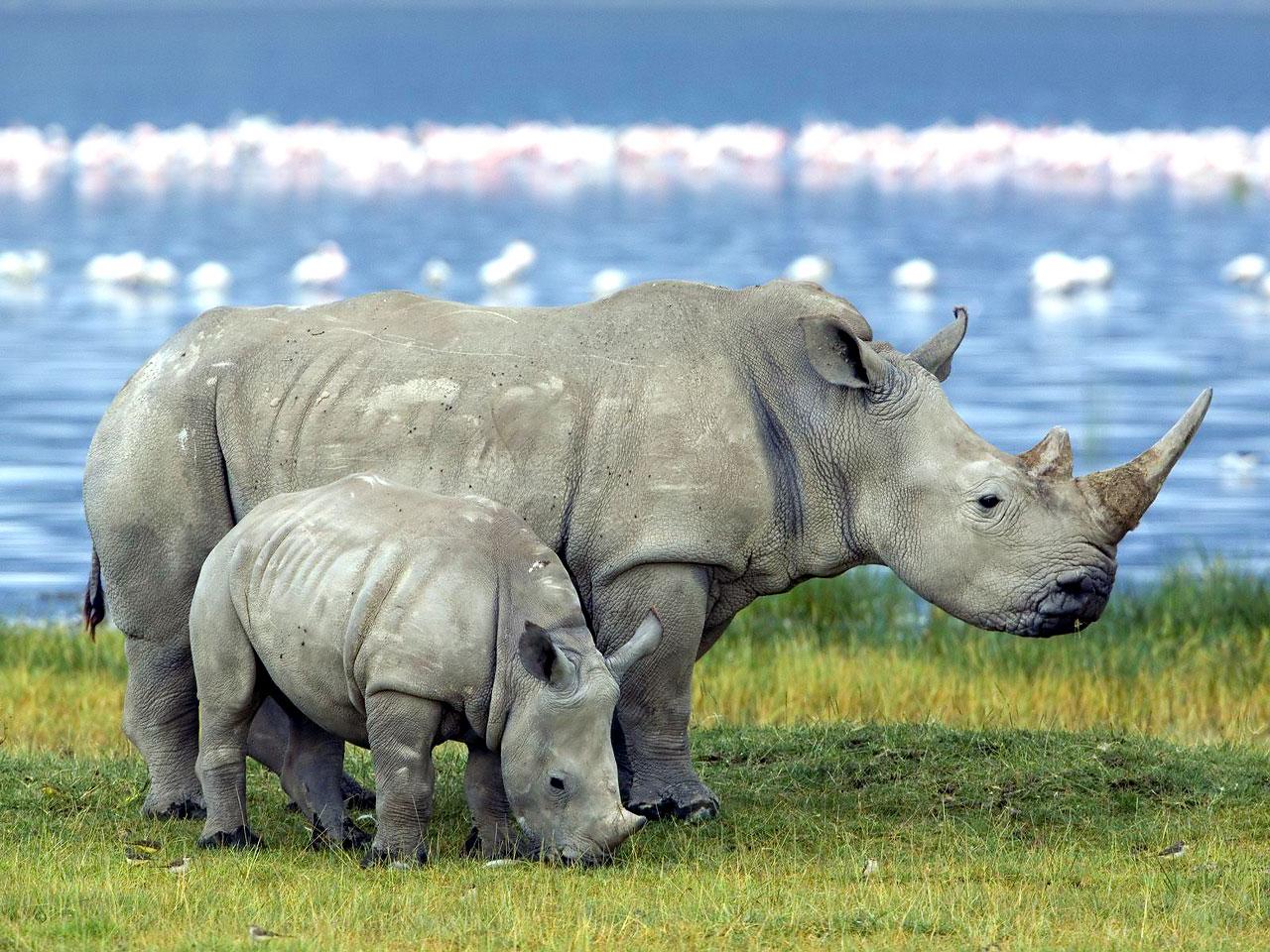 Chitwan National Park to translocate 10 one-horned rhinos at Bardiya National Park and Shuklaphanta National Park