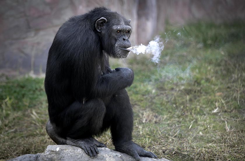 Pyongyang's newly opened zoo has a new star: Azalea, the smoking chimpanzee