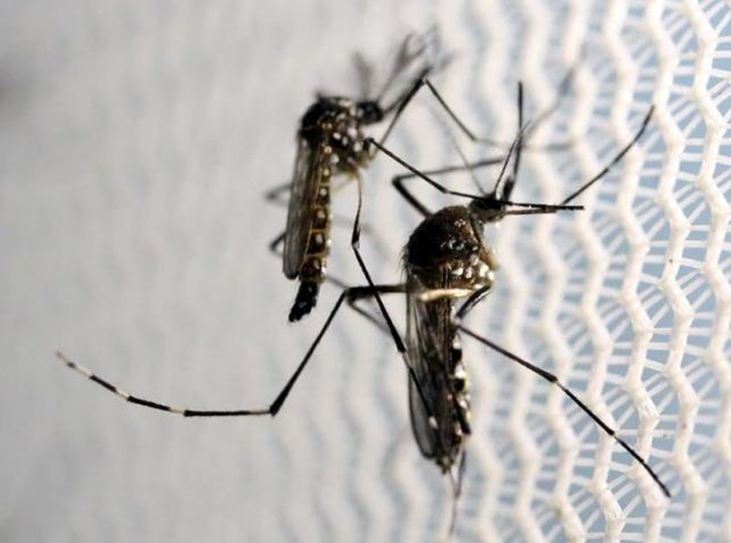File – Aedes aegypti mosquitoes are seen inside Oxitec laboratory in Campinas, Brazil, on February 2, 2016. Photo: Reuters